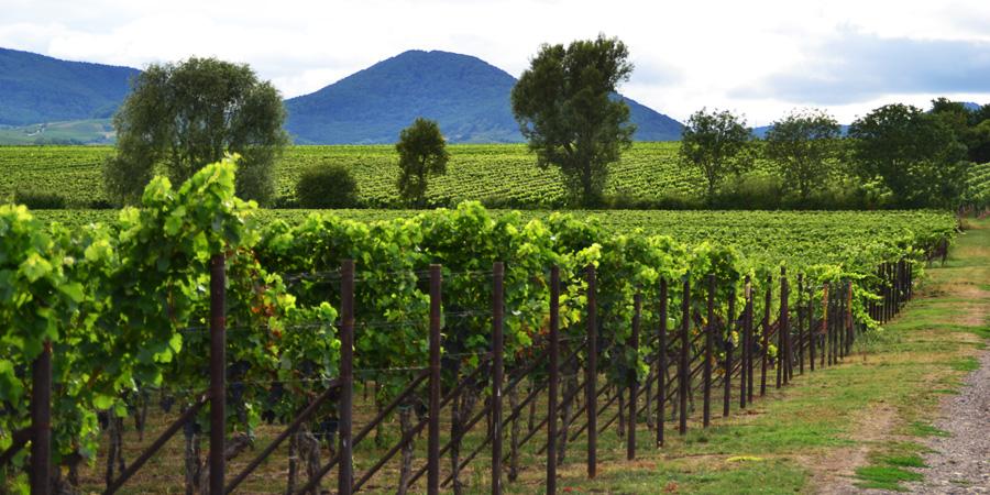 Fruchtbare Weinberge